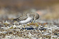 Temminck's Stint - Calidris temminckii