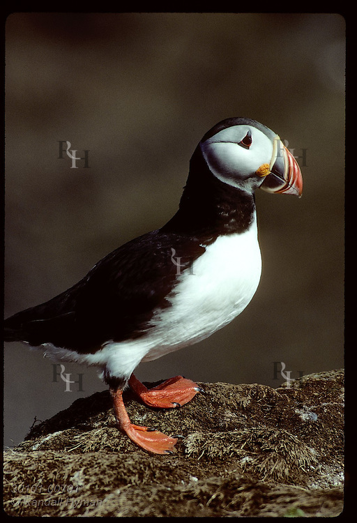 Adult puffin poses on rock on Grimsey Island; 8 million puffins return to Iceland each summer. * Iceland