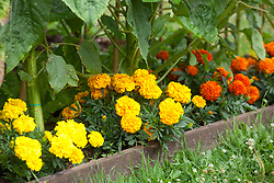 Organic pest control. Calendulas grown as companion planting along the edge of a sunflower bed to attract aphids and bugs away from main plants. Calendula officinalis, marigold