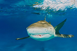 Lemon Shark, Negaprion brevirostris, West End, Grand Bahama, Atlantic Ocean