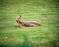 Doe with mange?. Image taken with a Fuji X-T3 camera and 200 mm f/2 OIS lens (ISO 320, 200 mm, f/3.2, 1/340 sec).