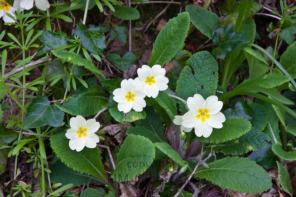 Spring and summer wildflowers Primroses, Primula vulgaris, with ivy and cleavers Galium aparine in Cornwall