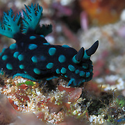Nembrotha cristata nudibranch foraging on the reef in Ambon, Indonesia