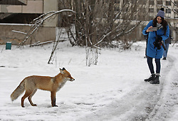 December 22, 2016 - Kiev, Ukraine - A girl takes a photo of a wild fox in the deserted town of Pripyat,two kilometers from the Chernobyl nuclear power plant, Ukraine, on 22 December,2016. The explosion of Unit four of the Chernobyl nuclear power plant on 26 April 1986 is still regarded the biggest accident of nuclear power generation  in the history. (Credit Image: © Serg Glovny via ZUMA Wire)