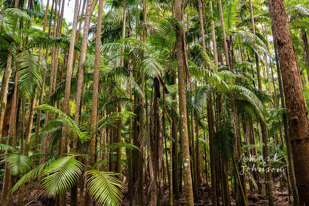 Piccabeen Palms, D'aguilar National Park, Queensland, Australia