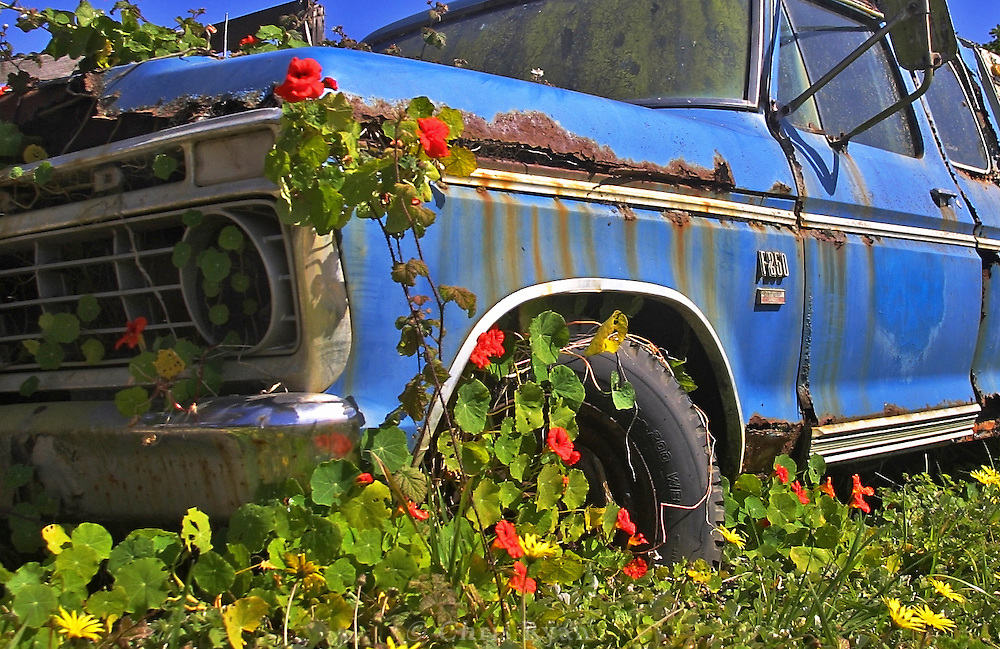 Ford truck being reclaimed by flowers, Central Coast, California