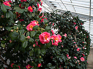 An Unknown pink and white Camellia japonica blooming in February in the conservatory at Chiswick House, Chiswick, London, UK