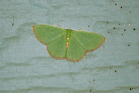 As far as moths go, most of the smaller ones are pretty much drab and forgettable. Not the the red-fringed emerald. With a beautiful emerald green coloration with ruby red highlights and details, This one-inch beauty caught my eye as I was it resting on some wood one afternoon in Tallahassee, Florida. This moth can be found across much of the eastern half of North America from Florida to New Brunswick in the Canadian Maritimes west to Ontario to Texas back down in the south.