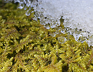 Mamakating, New York - Patches of snow and ice cover moss on a log on a cold spring day at the Bashaskill Wildlife Management Area on March 26, 2011.