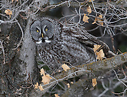 A Great Gray Owl checks out Lindley Park in Bozeman, Montana
