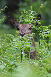 Windsor, UK. 29th May, 2018. A red hind in Windsor Great Park. There is a herd of around 500 red deer within the deer park enclosure in Windsor Great Park, all descended from forty hinds and two stags introduced in 1979 by the Duke of Edinburgh.