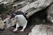 Rockhopper penguins are very noisy, and cranky commonly bray for locating chicks