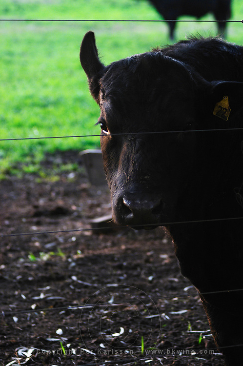 A grazing black angus bull in a green field, that will at some later time in its life go to the famed Uruguay barbecue Asado. Evening setting sun. Montevideo, Uruguay, South America