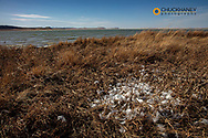 Snow geese feathers during spring migration at Freezeout Lake WMA near Choteau, Montana, USA