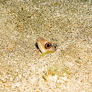 Margintail Conger build burrows in sand, extend head and upper body when feeding, in Tropical West Atlantic; picture taken St. Vincent.