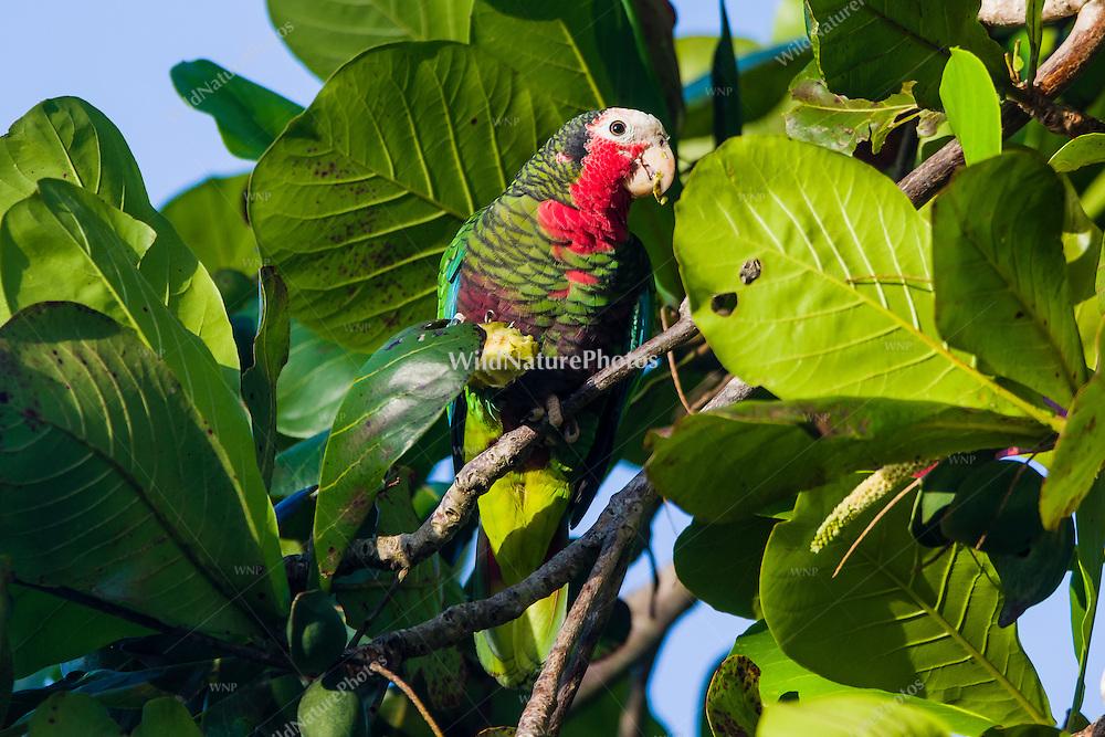 Cuban Parrots (Amazona leucocephala leucocephala) feeding in the early morning. Playa Larga, Cuba.