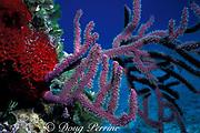 sea rod gorgonian ( soft coral ), <br /> Plexaura sp., <br /> Bahamas ( Western Atlantic Ocean )