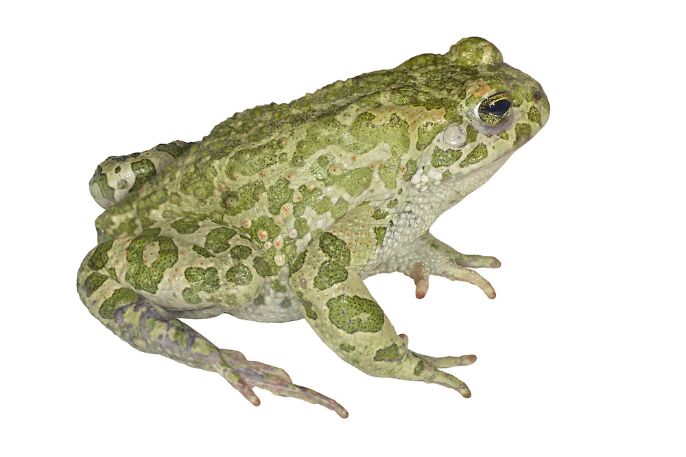 European Green Toad - Bufo viridis