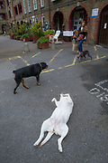 Playful dogs on Wyndham and Comber housing estate on 26th May 2016 in London, United Kingdom. The Wyndham and Comber is a council estate in the Camberwell area of Southwark, London.