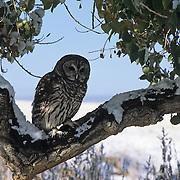 Barred Owl (Strix varia) portrait. Captive Animal