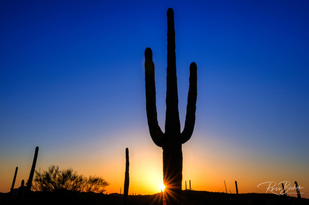 Saguaro cactus at sunset, Organ Pipe Cactus National Monument, Arizona USA