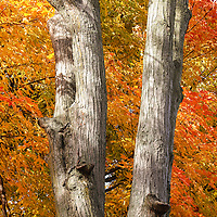 """""""The Colors Behind"""" <br /> <br /> A V-shaped tree trunk with colorful fall foliage behind!"""