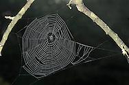 Garden Spider Web - Araneus diadematus