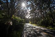 Ohia tree on road, Kahili Ginger, Flower, Hawaii Volcanoes National Park, Island of Hawaii, Hawaii