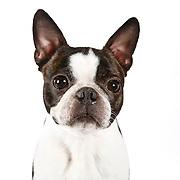 20110222 Boston Terriers