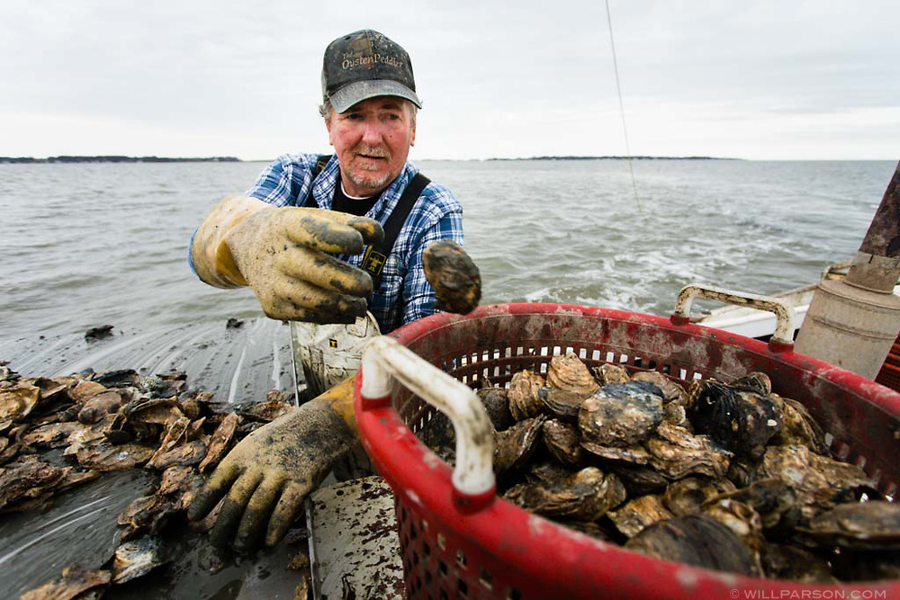 Waterman Butch Walters harvests oysters using a power dredge in the waters north of Deal Island, Md., on March 31, 2017. (Photo by Will Parson/Chesapeake Bay Program)