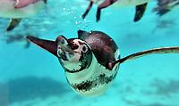 rockhopper penguin at zsl London zoo photos by Brian Jordan