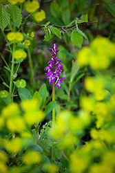 Early Purple Orchid growing amongst Wood Spurge in the bottom of a hedgerow. Orchis mascula, Euphorbia robbiae
