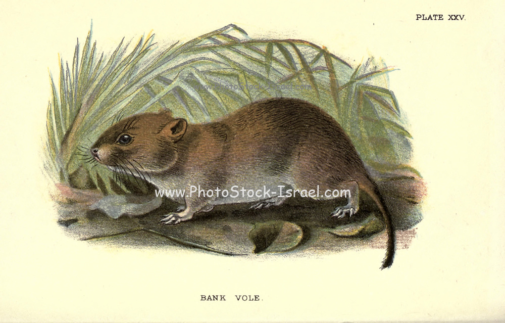 The bank vole (Myodes glareolus Here As Microtus glareolus) is a small vole with red-brown fur and some grey patches, with a tail about half as long as its body. A rodent, it lives in woodland areas and is around 100 millimetres (3.9 in) in length. The bank vole is found in much of Europe and in northwestern Asia. It is native to Great Britain but not to Ireland, where it has been accidentally introduced, and has now colonised much of the south and southwest. From the book ' A hand-book to the British mammalia ' by  Richard Lydekker, 1849-1915  Published in London, by Edward Lloyd in 1896