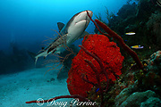 Caribbean reef shark, Carcharinus perezi, on coral reef with orange elephant ear sponges, Agelas clathrodes, and red rope sponges, Bahamas ( Western Atlantic Ocean )