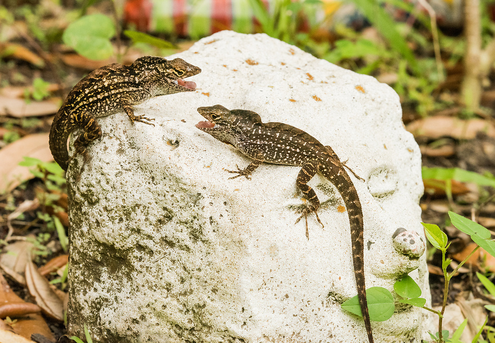 Territorial male brown anole lizards, Houston, Texas