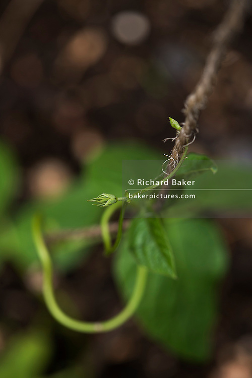 Detail of green shoots of growing runner bean plant in back garden.