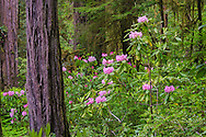 Wild rhododendron flowers bloom in forest, Jedediah Smith Redwoods State Park, Redwood National and State Parks, Del Norte County, California