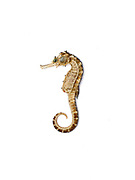 A dried seahorse collected for exporting to China for medicine, Tamiao, Bantayan Island, The Philippines.