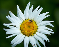 Daisy wildflower with a fly. Backyard spring nature in New Jersey. Image taken with a Fuji X-T1 camera and 60 mm f/2.4 macro lens (ISO 200, 60 mm, f/4, 1/500 sec).