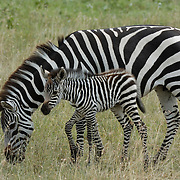 Burchell's Zebra (Equus burchelli) mother with young. Serengeti National Park, Tanzania, Africa