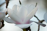 Magnolia 'Milky Way' at RHS Wisley Garden, Surrey, UK