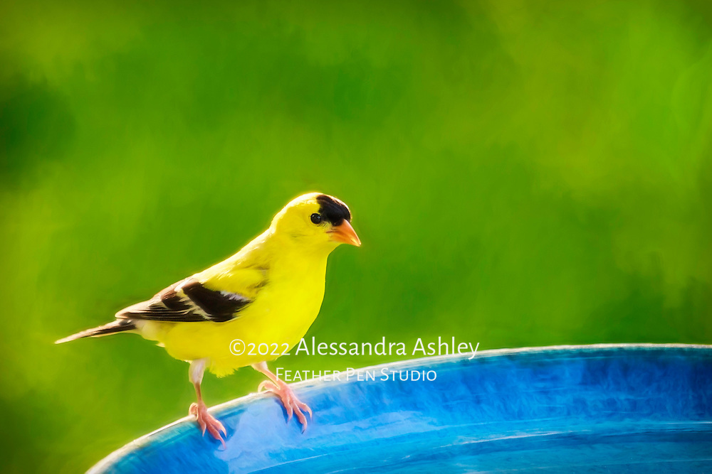 """American goldfinch male in bright yellow breeding plumage, perched on blue birdbath in natural backyard setting.  Blend of painted effects and photorealism.  The goldfinch, nicknamed the potato chip bird, has a four-syllable call that can be likened to """"po-ta-to-chip."""""""