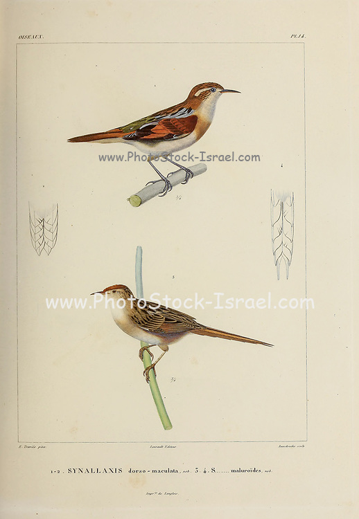 hand coloured sketch Top: wren-like rushbird (Phleocryptes melanops [Here as Synallaxis dorso-maculata]) Bottom: bay-capped wren-spinetail (Spartonoica maluroides) [Here as Synallaxis maluroides]) From the book 'Voyage dans l'Amérique Méridionale' [Journey to South America: (Brazil, the eastern republic of Uruguay, the Argentine Republic, Patagonia, the republic of Chile, the republic of Bolivia, the republic of Peru), executed during the years 1826 - 1833] 4th volume Part 3 By: Orbigny, Alcide Dessalines d', d'Orbigny, 1802-1857; Montagne, Jean François Camille, 1784-1866; Martius, Karl Friedrich Philipp von, 1794-1868 Published Paris :Chez Pitois-Levrault et c.e ... ;1835-1847