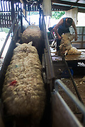 Sheep shearing on a farm in the Scottish Borders July 26 2016. A team of two sheep shearers cut sheep owned by farmer Stewart Ranciman. The team plus helpers gets through 400 sheep in one day taking 1min 20 sec. per sheep. Rancimans sheep live in the hills and only come into the farm to lamb and to get cut.