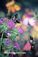 01162-05720 Ruby-throated Hummingbird (Archilochus colubris) males at Bee Balm(Monarda sp.) Shelby Co. IL