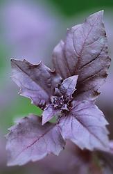 Purple sweet basil<br /> Ocimum basilicum 'Purple Delight'