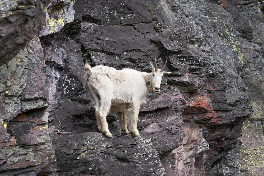 Mountain Goats<br /> (Oreamnos americanus) on Comeau Pass Trail, Glacier National Park Montana