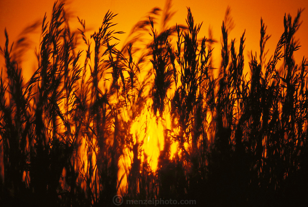 Oat field at sunset in Kansas, USA. Seen from a low angle with setting sun.