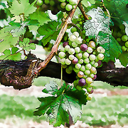 Grapes almost ready to harvest at Hold House Vineyards in Culpepper, VA.  I've taken these a bit towards cartoon, to bring out some of the features.  One nice little add on is the smiles on many of the grapes