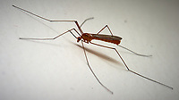 Crane Fly in my room. Image taken with a Nikon D4 camera and 105 mm f/2.8 VR macro lens (ISO400, 105 mm, f22, 1/60 sec).